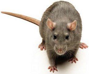 Foto de una rata mirando al frente