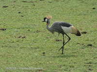 Grey-crowned crane, Tanzania - photo by Daniel St-Laurent