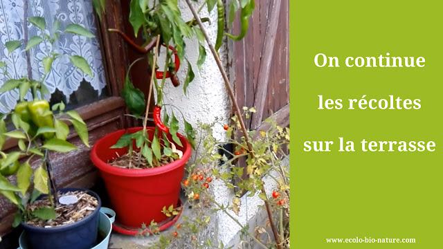 On continue les récoltes sur la terrasse (permaculture)