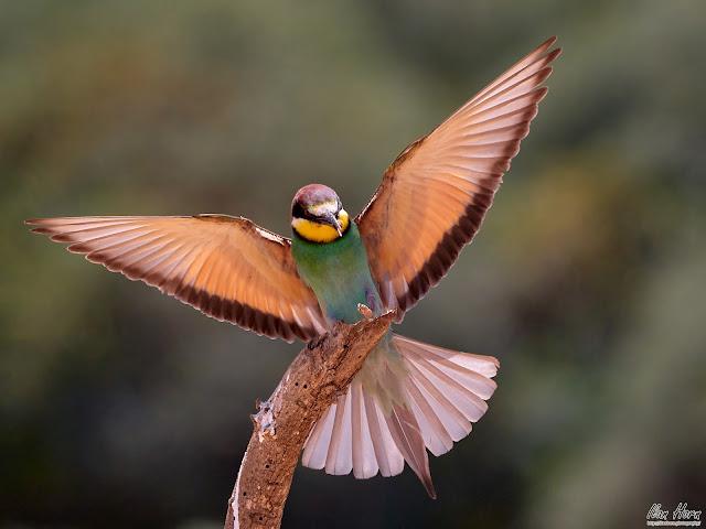 European Bee-Eater Landing