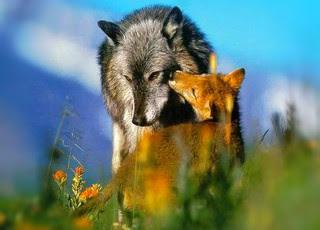 perbedaan-serigala-dan-rubah.jpg