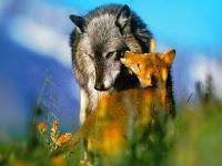 Apa Perbedaan Serigala dan Rubah?