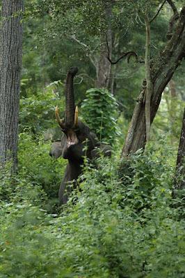 black-elephant-roaming-in-the-jungle