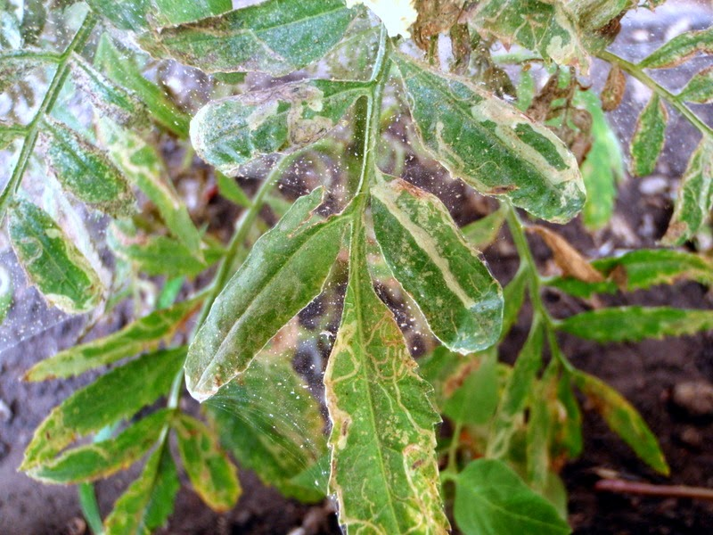 Spider Mite Webbing And Leaf Miner Damage On Tomato