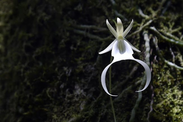 Bunga Ghost Orchid