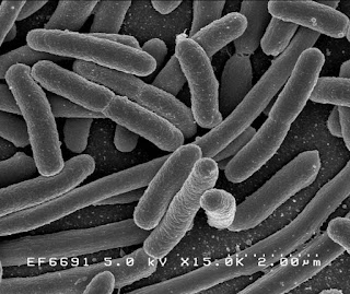 Gambar monera Escherichia coli