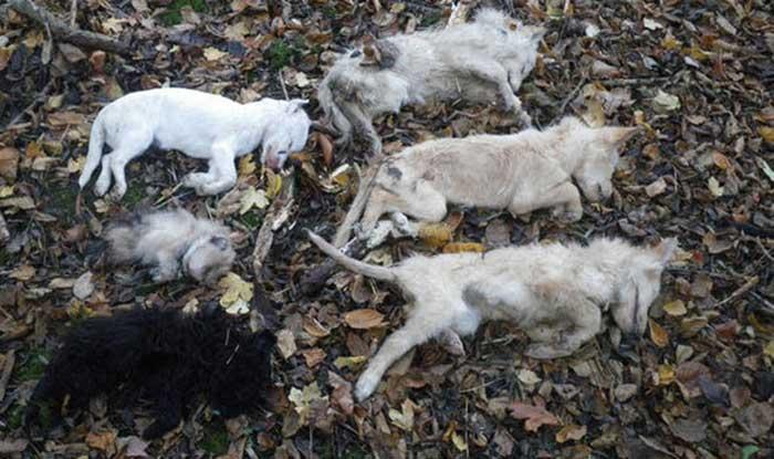 Anjing dibunuh Misterius