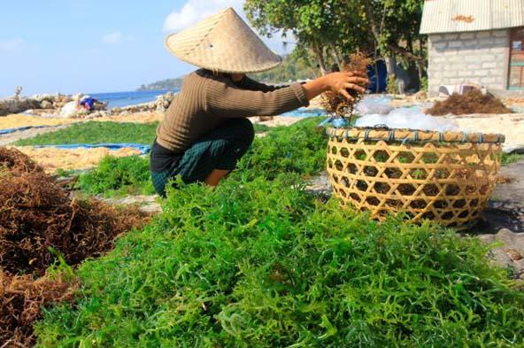 13.000 Petani Rumput Laut Gugat Perusahaan Minyak Atas Imbas Tumpahan Minyak