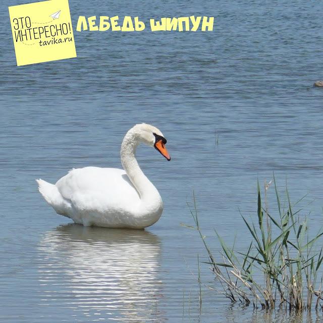 лебедь шипун на озере Кызыл Яр, Крым