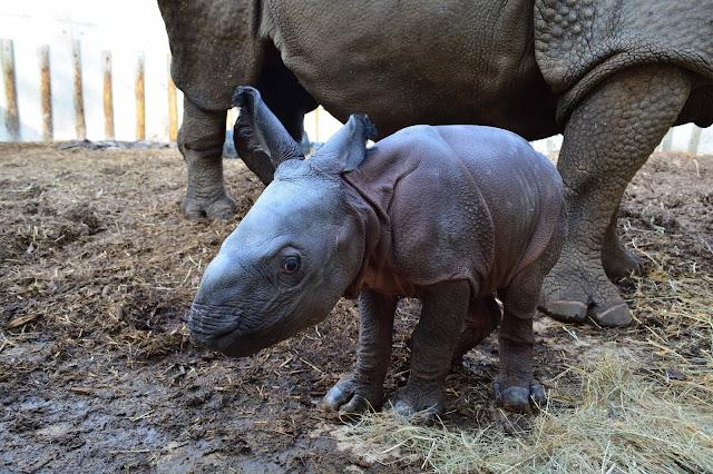 Cría rinoceronte indio