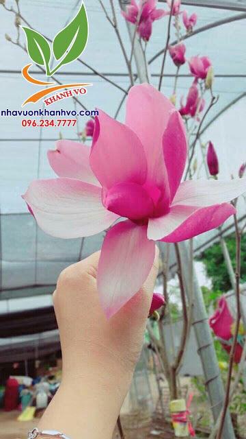 Hoa mộc lan, trang trí cho sân vườn trang nhã. B9640a7bb3f850a609e9