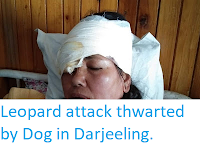 https://sciencythoughts.blogspot.com/2019/08/leopard-attack-thwarted-by-dog-in.html