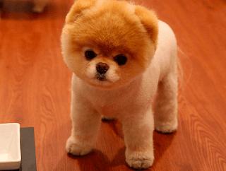 Dünyanın-En-Küçük-Köpekleri