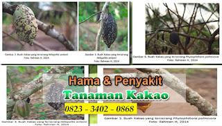 HAMA DAN PENYAKIT TANAMAN KAKAO SERT PENNGGULSNGANNYA 082334020868