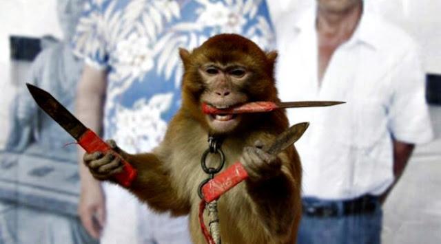 Monyet beraksi dengan 3 pisau di tubuhnya.