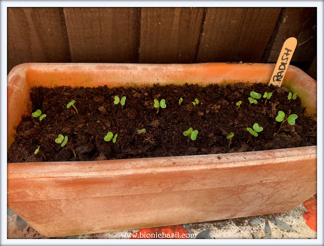 Radish Seedlings ©BionicBasil® The Pet Parade 347