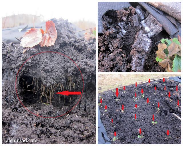 посадка земляники на спанбонд, минусы, аленин сад, выпирание корней, вымерзание корней,