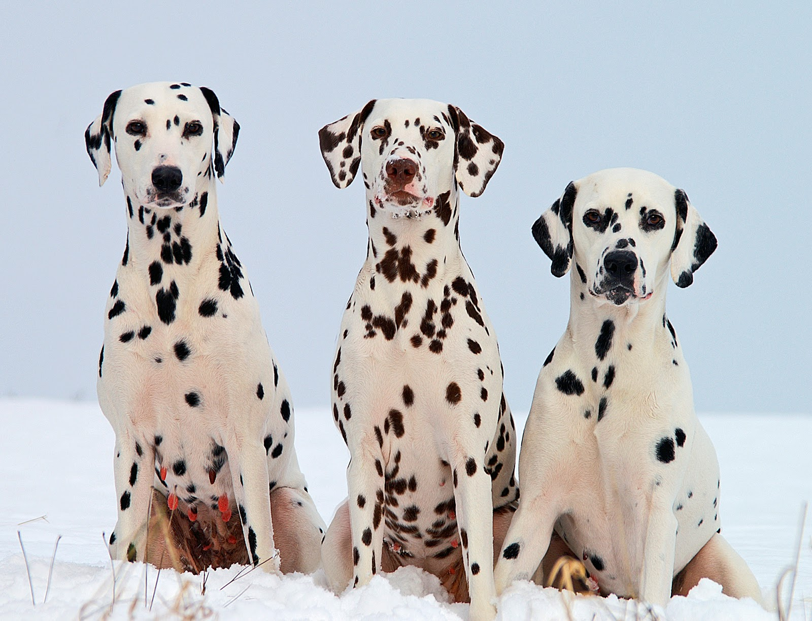 Dalmatian Spots On Black And Liver