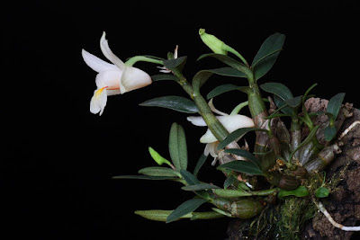 Dendrobium christyanum care and culture