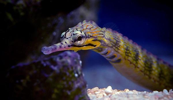 Pipefish - cá ngựa nước ngọt - S.E.A Aquarium