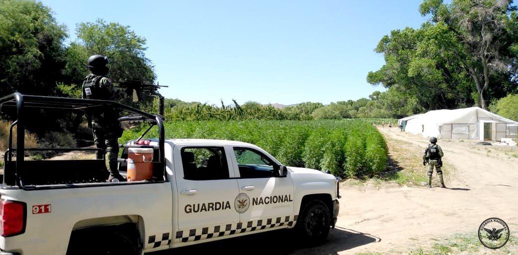Localizan plantío y 3 invernaderos de marihuana en Ímuris, Sonora