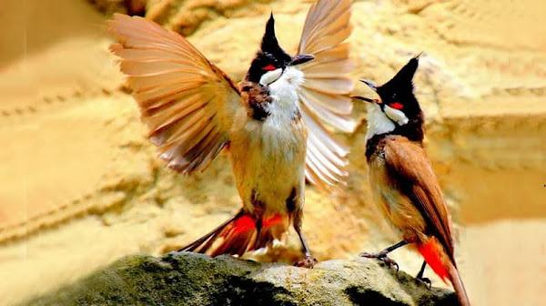 Kỹ thuật nuôi chim Chào Mào khỏe mạnh hót hay