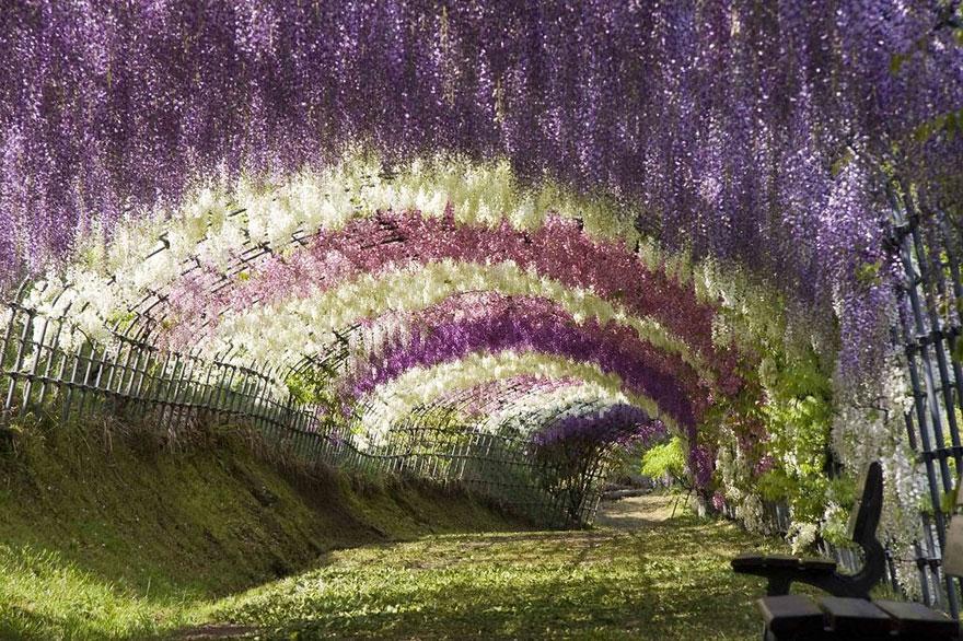 Japan ,Wisteria Flower Tunnel-1