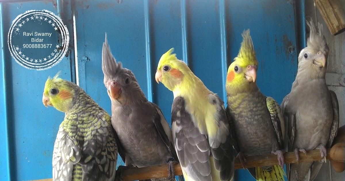 Cockatiel breeding time