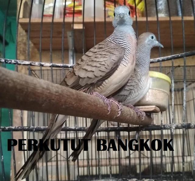 Sejarah Lengkap dan Asal Muasal Perkutut Bangkok