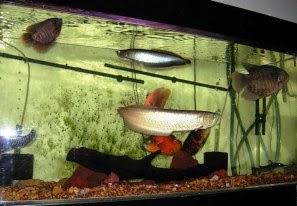 Akuarium Ikan Hias Tips Memadukan Ikan Arwana Dengan Ikan Lain