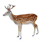 deer in spanish