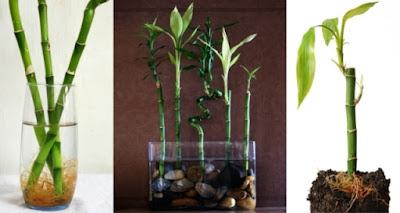 Bambu cina