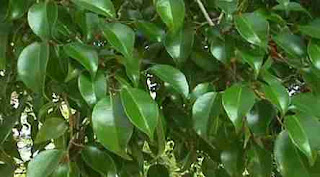 Ficus: simbol, superstiții, legende