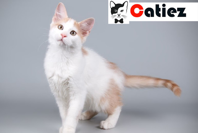 Aphrodite Giant Cat - all you want to know about Aphrodite Giant Cats
