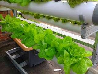 cara-menanam-selada-hidroponik.jpg