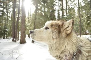 Wolf Hybrid dogs