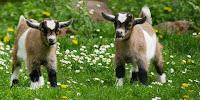 peluang bisnis ternak, peluang usaha ternak, usaha ternak, bisnis ternak, usaha ternak kambing, ternak kambing, anak kambing