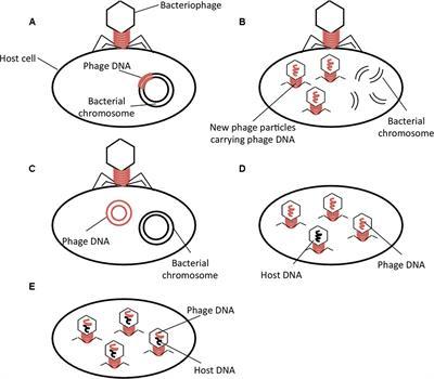 Bacteriophage Genetic Exchange