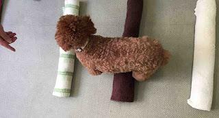 exercício com toalhas para cães