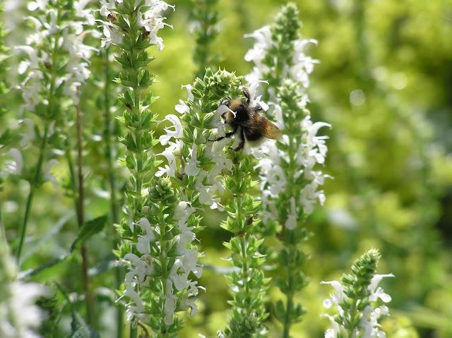 trzmiel na kwiatach szałwi