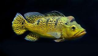 Peacock Bass Kelberi