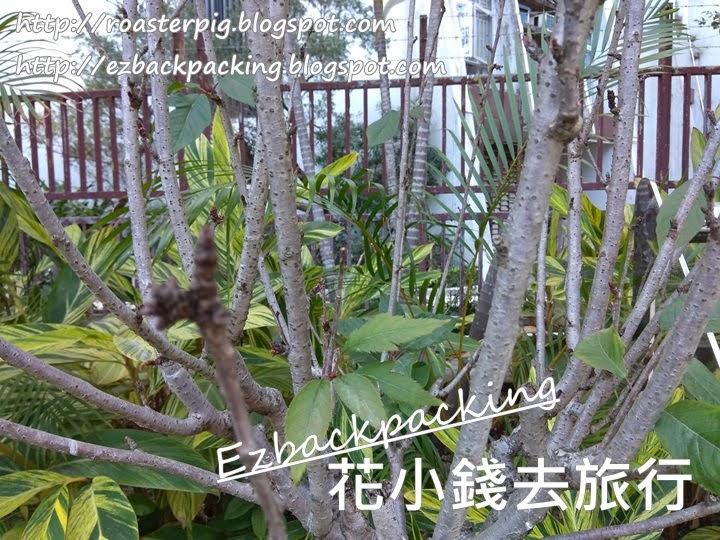鰂魚涌公園看櫻花+櫻花位置