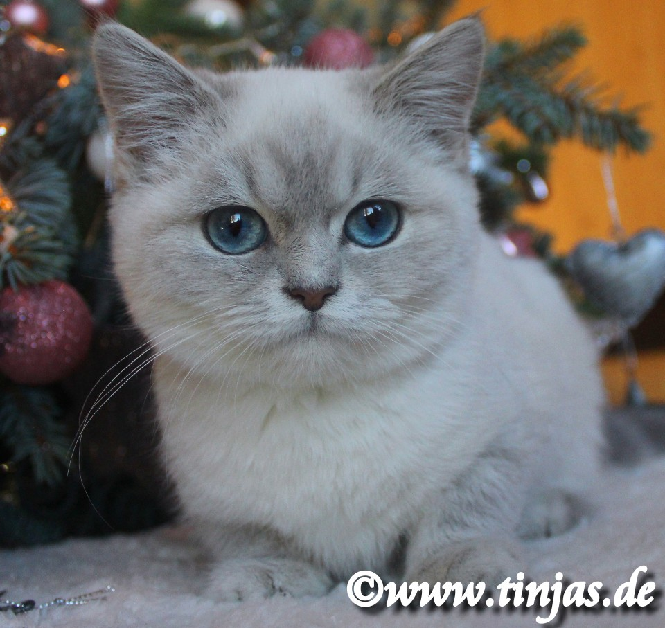 Britisch Kurzhaar blue golden tabby point