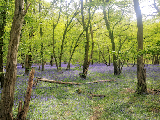 The bluebells between points 5 and 6