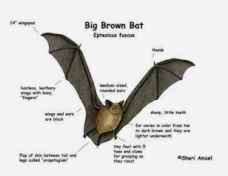 kelelawar big brown bat