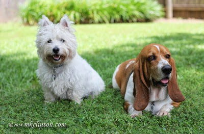White West Highland Terrier and Basset are best friends