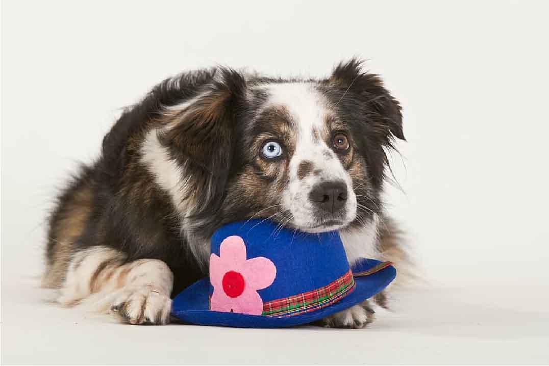 berger australien, race de chien, animaux de compagnie, chien de compagnie, races de chiens, chiot, aussies, australian shepherd, berger américain miniature,
