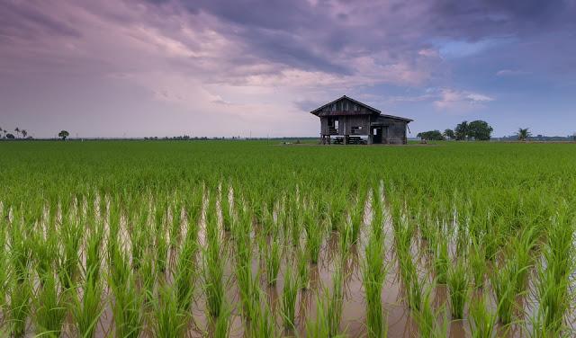 ryż globalne ocieplenie