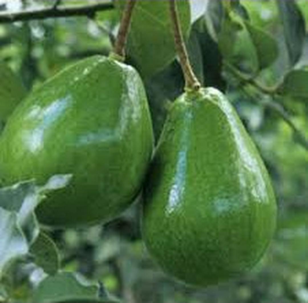 Borong Segera! Terlaris Bibit murah buah alpukat mentega super Kota Bekasi #bibit buah buahan