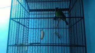 4 Tanda Burung Cucak Ijo Birahi